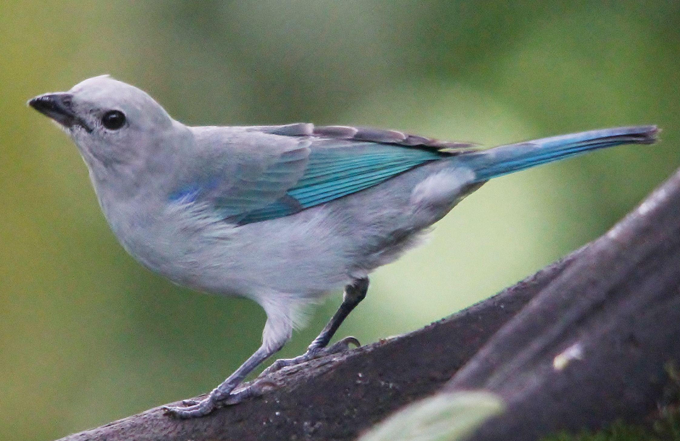 Blue-gray Tanager. Photo by Benjamin Skolnik