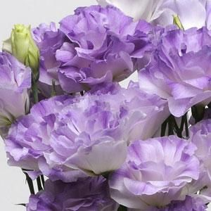 Lisianthus Misty Blue, don't really like this one though-Bluebells