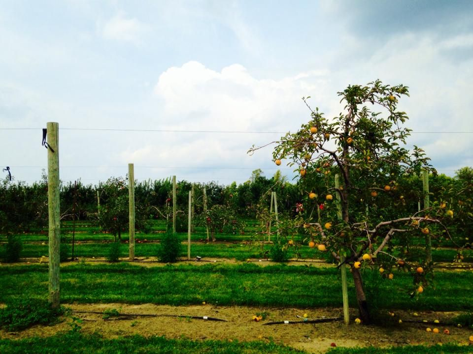 Apple orchard, Indiana