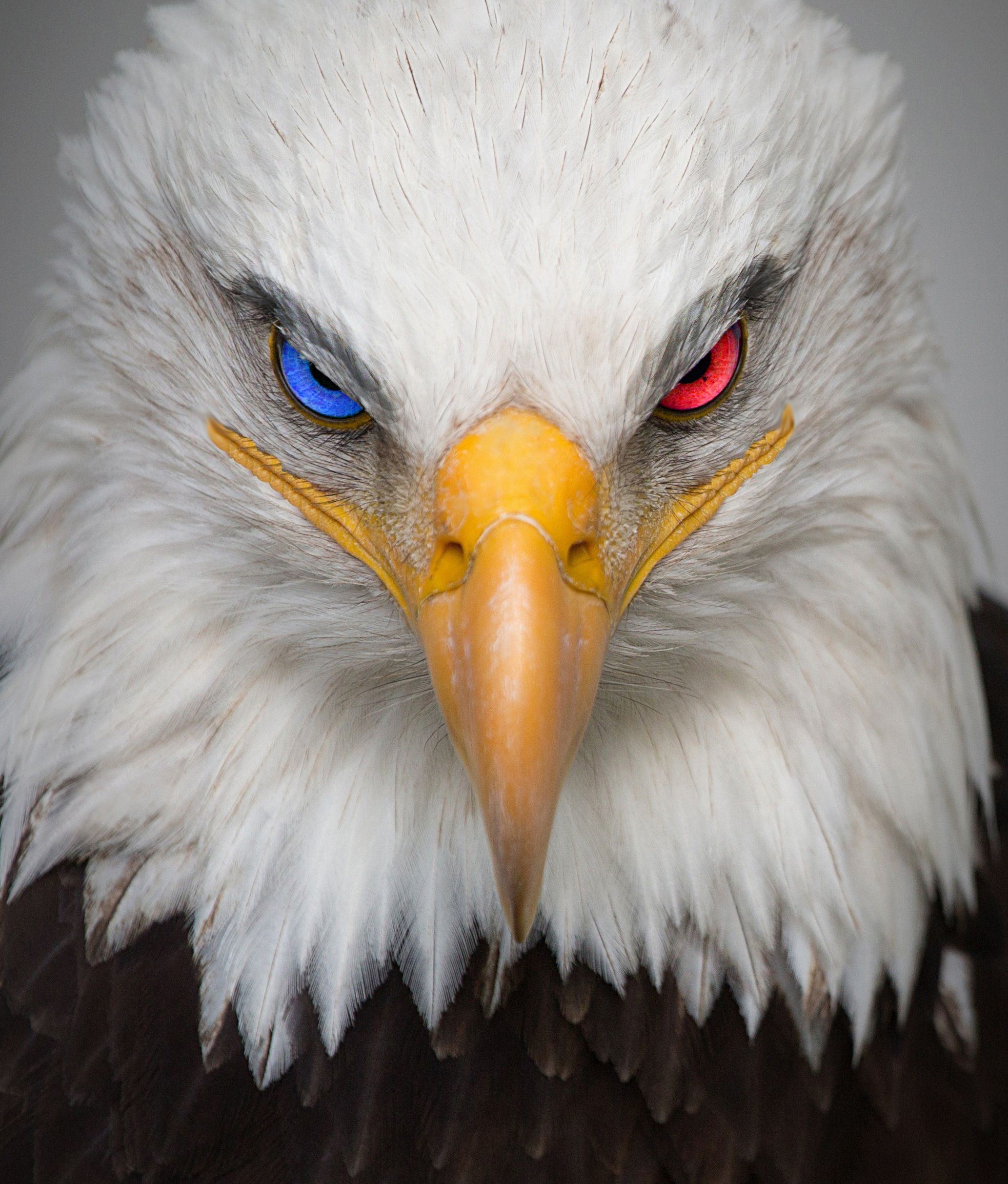 Angry American Eagle | Eagle pictures, Bald eagle, Bird pictures
