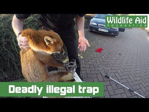 Little Fox Gets Caught In A Deadly And Illegal Trap There Is 1000 Reward For Information Leading To The Successful Convicti Wildlife Pet Fox Animal Companions