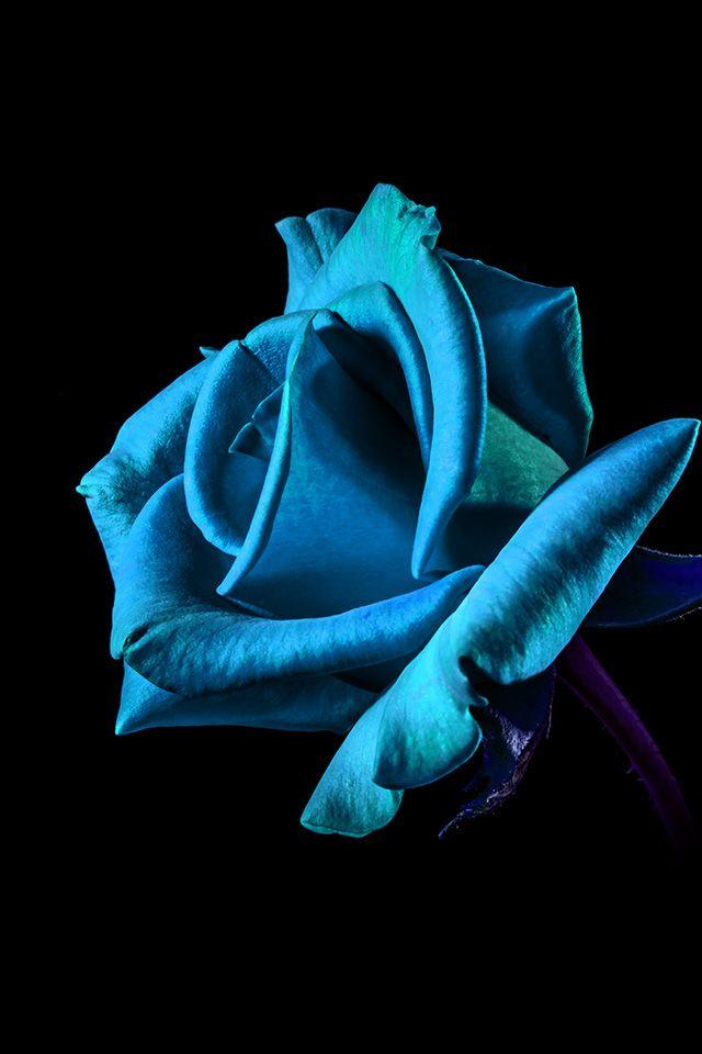Freeios7 mt52 flower rose blue dark beautiful best nature http freeios7 mt52 flower rose blue dark beautiful best voltagebd Image collections