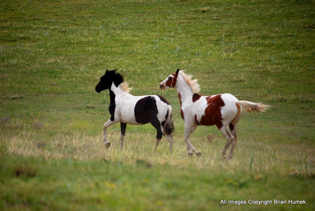 paint horses running - Google Search