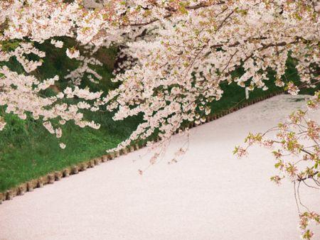 Vemale Com Karpet Pink Bunga Sakura Ini Bukan Karpet Biasa Lho Bunga Sakura Bunga Sakura