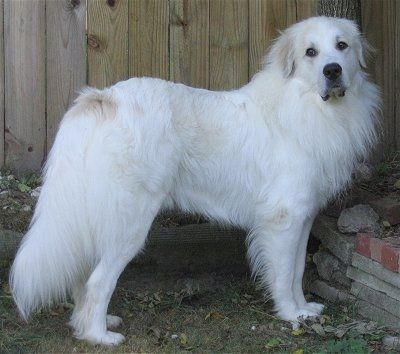 Right Profile A White With Tan Great Pyrenees Is Standing In