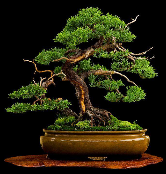 lovely juniper w many natural looking jins on jita bonsai bonsai bonsai baum baum. Black Bedroom Furniture Sets. Home Design Ideas