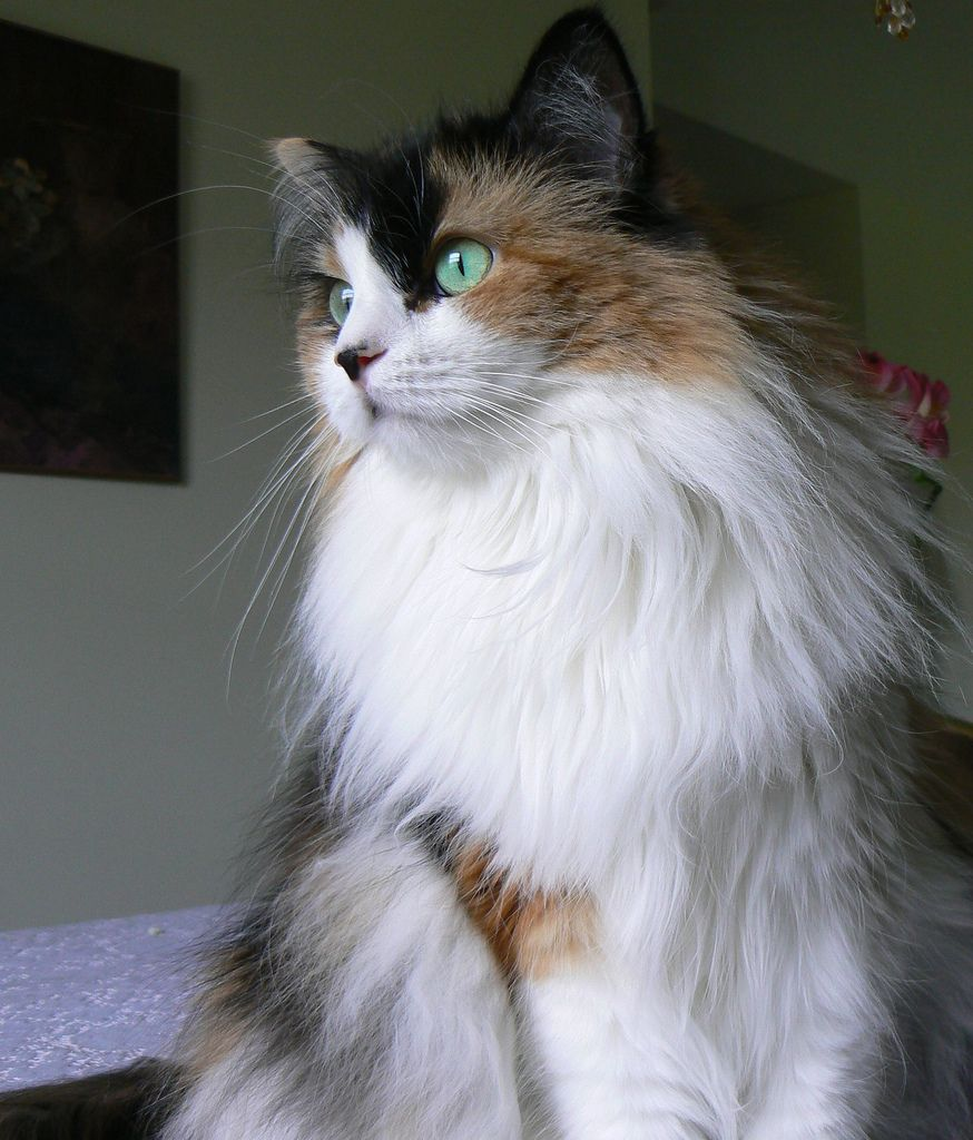 Puffy Domestic Longhair With Green Eyes And White Front