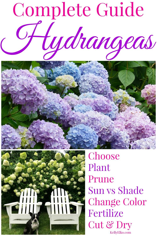 Hydrangeas 101 Choosing Planting Growing Pruning Tips In 2020 When To Prune Hydrangeas Growing Hydrangeas Planting Hydrangeas