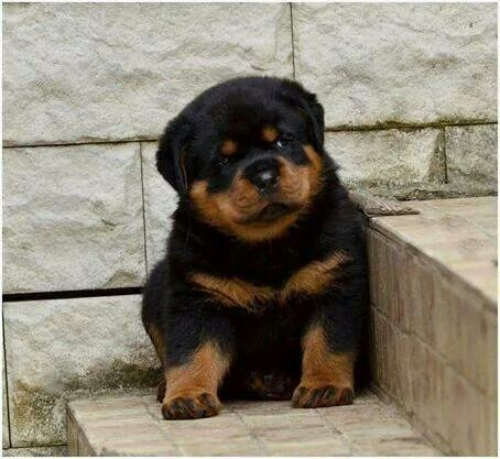 Download Rottweiler Chubby Adorable Dog - 73e3cad2a70bbd65eaf444590f228269  Picture_765986  .jpg