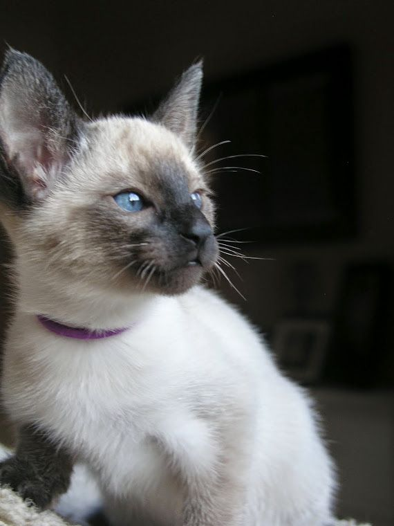 Carolina Blues Cattery Siamese Kitten Siamese cats