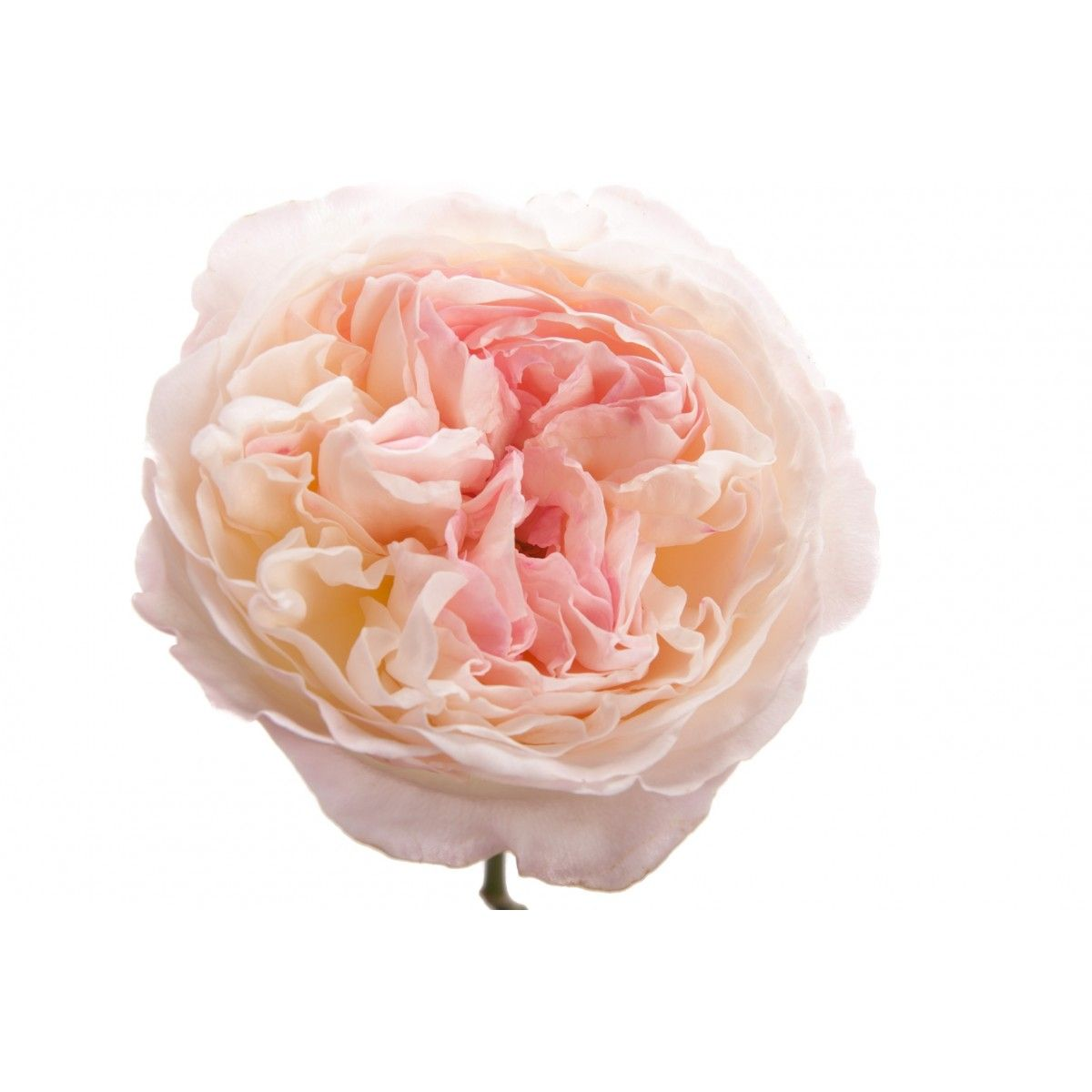 light pink garden rose keira garden roses roses flower muse