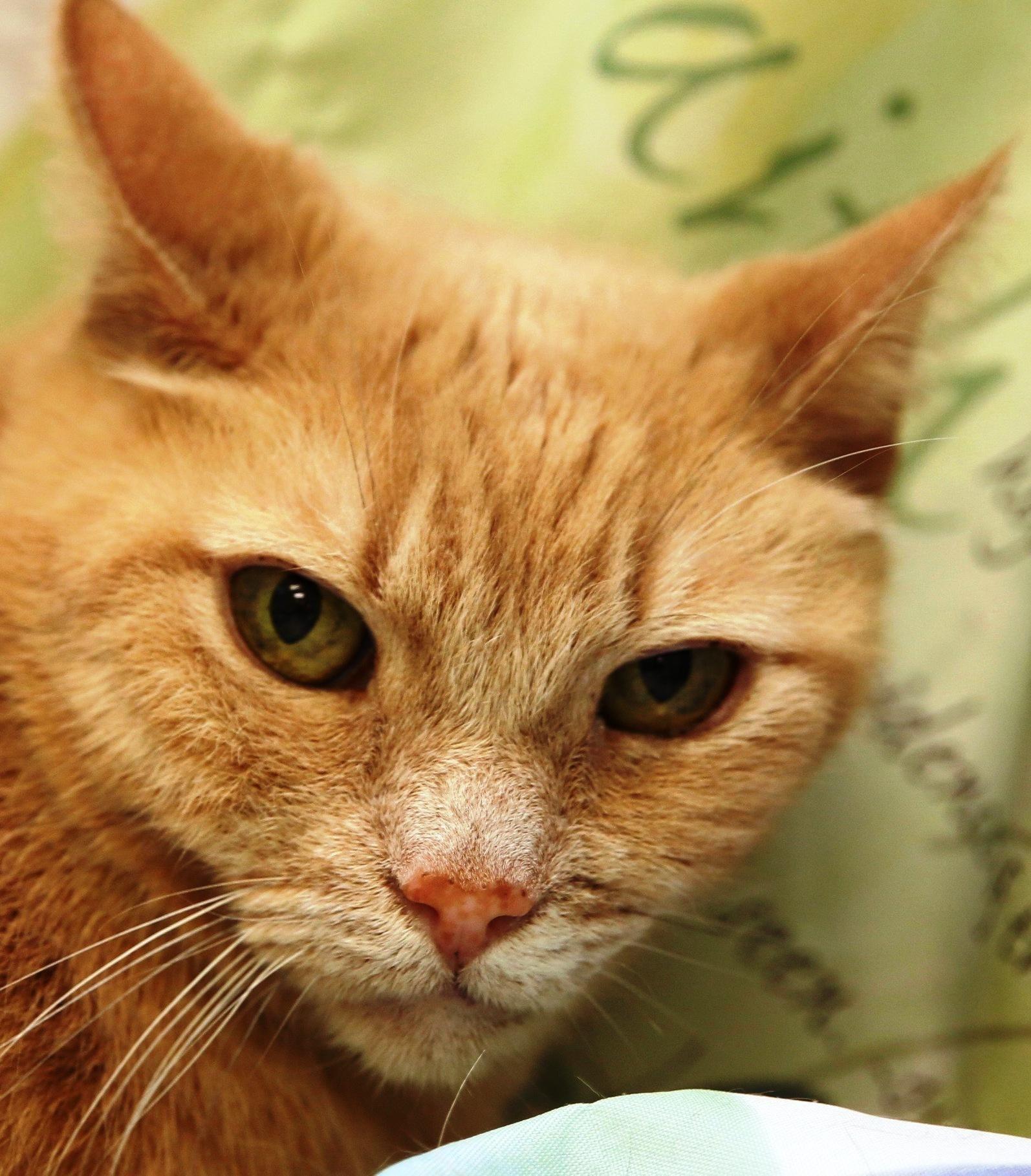 Adopt Sandy on Orange tabby cats, Cats, I love cats