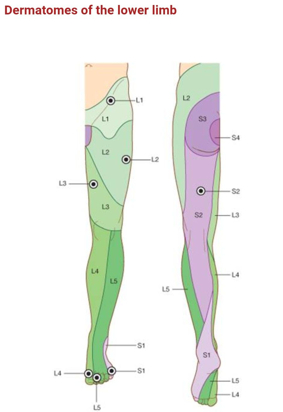 Dermatomes of Lower limb ... Great toe : L4 | anatomy | Pinterest ...