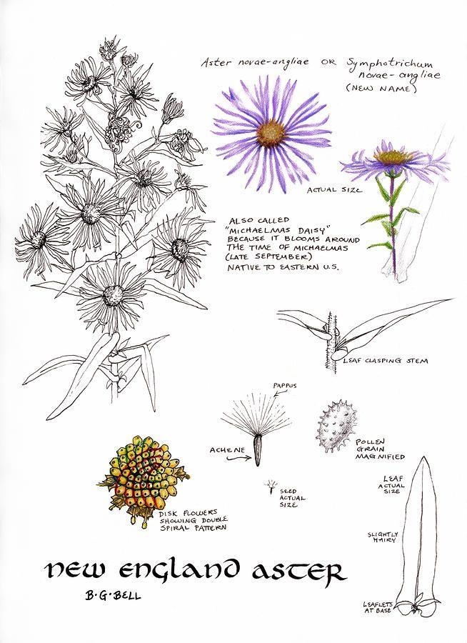 Study Book New England Aster Botanical Artwork Aster Flower Botanical Art