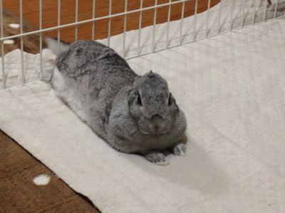 まんまるな顔 うさぎのはるちゃん うさぎ かわいいウサギ ウサギ