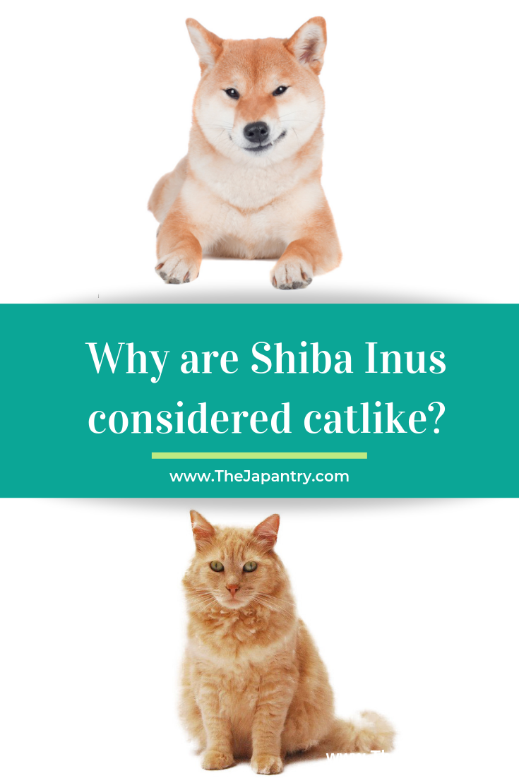 Why Are Shiba Inus Considered Catlike Cute Cats And Dogs