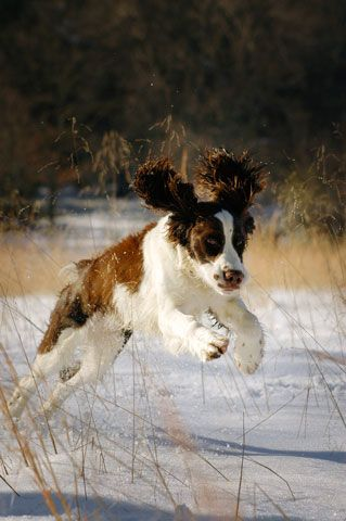 Bo, a Springer spaniel in Asheville, North Carolina DOGS