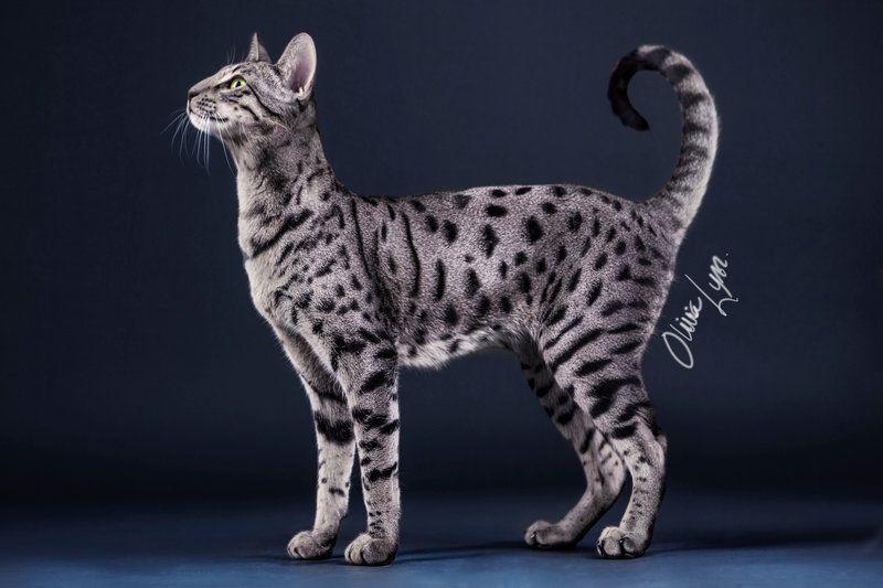 Silver Savannah Cat Nala By Alicenatalie Savannah Cat Savannah