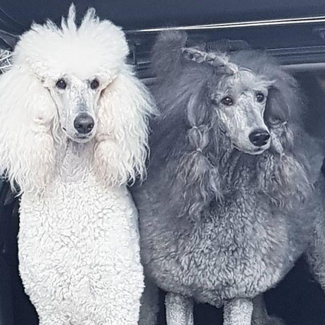 Saara Isovillakoira Villakoira Villakoirat Standardpoodle Standardpoodles Dancefloorspoodle Saara Greypoo Greypoodle P Poodle Pets Pet Grooming