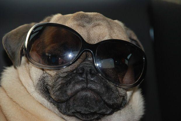 Simba With Glasses Pug Photos Pugs Glasses