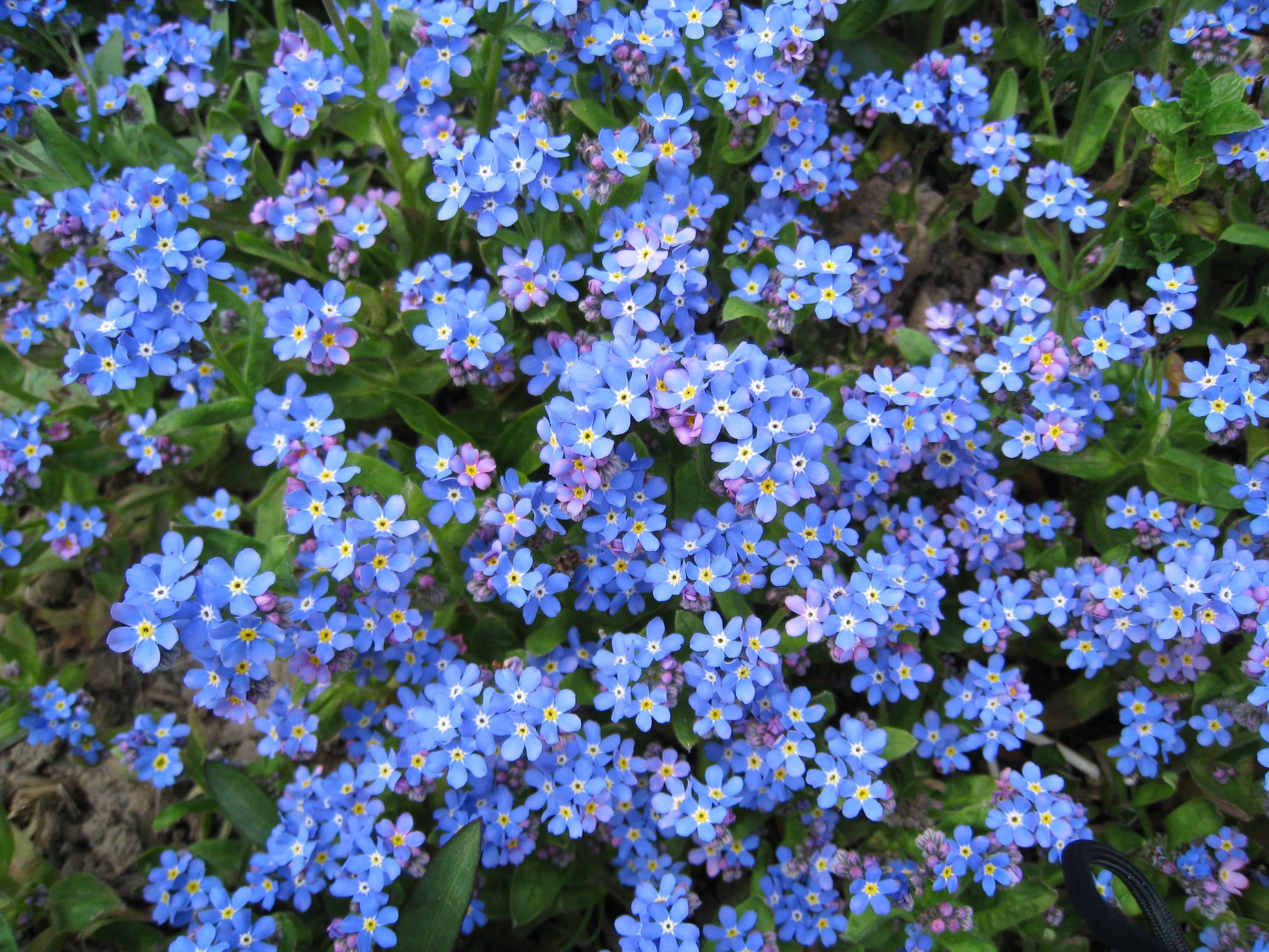 myosotis myosotis pinterest myosotis fleurs myosotis et fleurs bleues vivaces. Black Bedroom Furniture Sets. Home Design Ideas