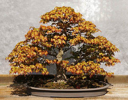 Acer Palmatum Facherahorn Bonsai Bonsai Baum Asiatischer