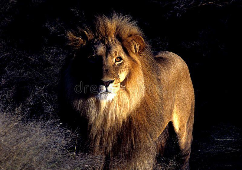 50+ Lion stock ideas