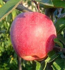 Jabloň zimná ´FLORINA´ podp. MM106