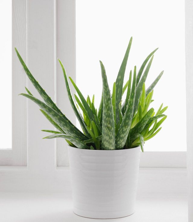 how to care for an aloe plant plants aloe plant care plants bathroom plants. Black Bedroom Furniture Sets. Home Design Ideas