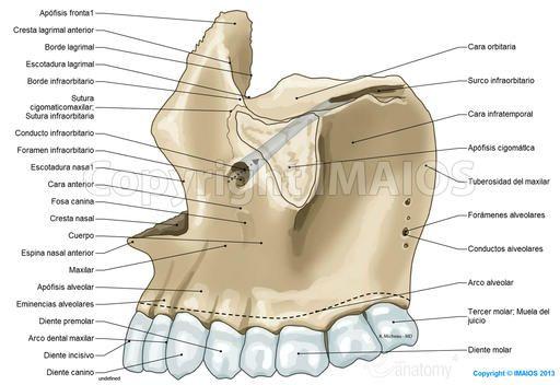 Maxilar-Cráneo: Conducto infraorbitario, Foramen infraorbitario ...