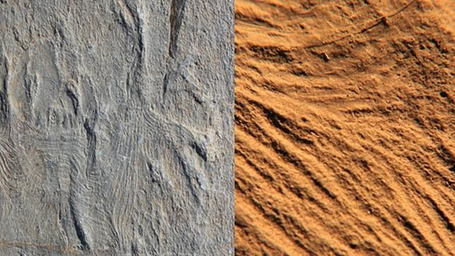 Los primeros músculos, grabados en un fósil de hace 560 millones de años
