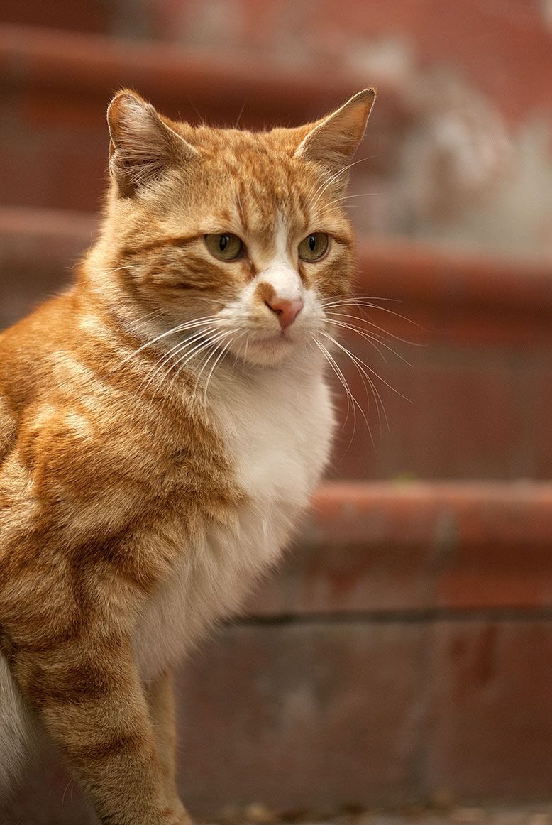 What It Means To Be A Tabby Cat Orange Tabby Cats Cat Facts Orange Cats