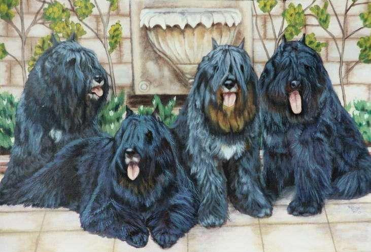 Bouvier des flandres bouviers des flandres dog pictures