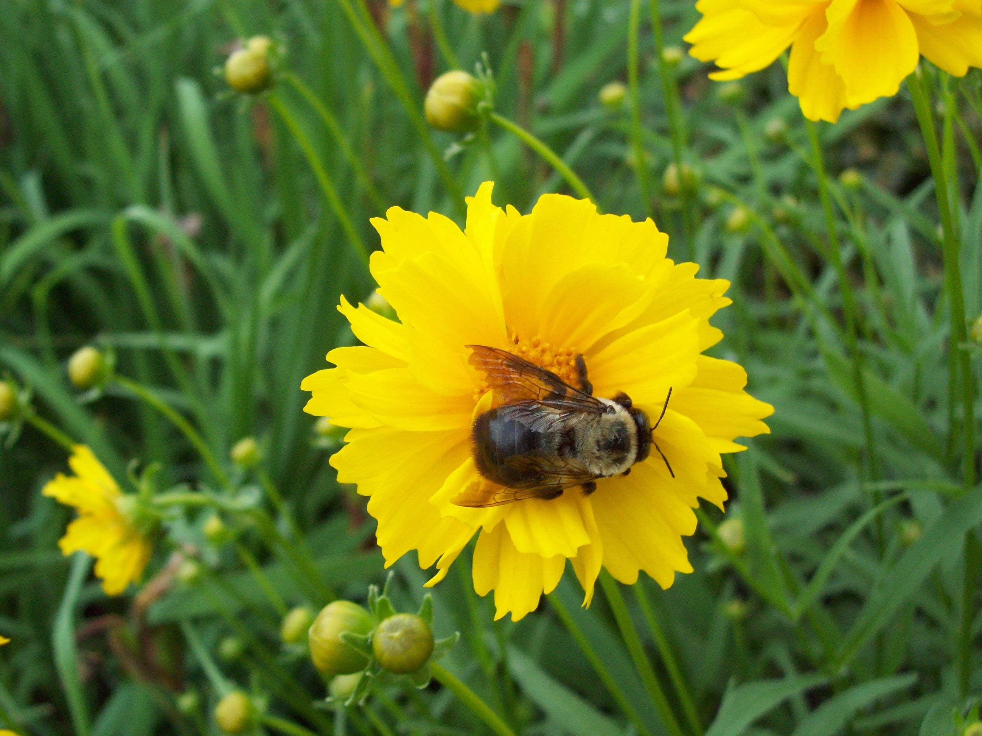 ~Buzzy Wuzzy wassa HONEY~BEE on a Coreopsis  ~  @ home