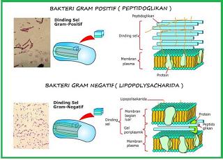 Bakteri Gram Positif Dan Gram Negatif Dinding Sel Gambar Dinding Biologi Sel