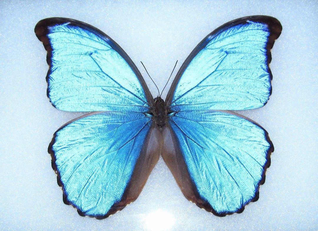 MORPHO MENELAUS MENELAUS unmounted butterfly