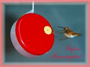 Feeding hummingbirds food in nature hummingbirds eat flower how to feed hummingbirds includes nectar recipe rufous hummingbird eating at for hummingbirds only feeder made by angine products forumfinder Gallery
