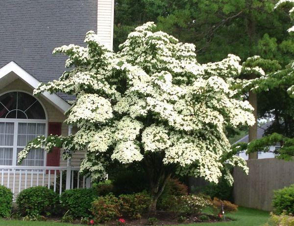 A Guide To Northeastern Gardening Dogwood Trees Kousa Dogwood Tree Flowering Trees