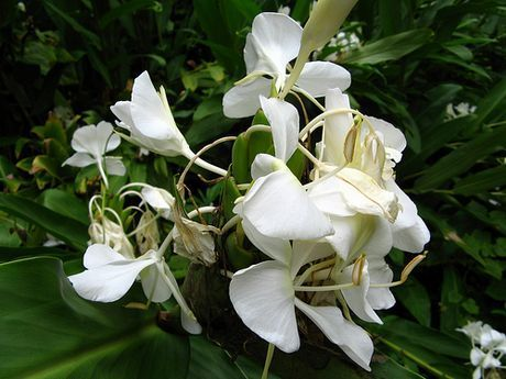 Hedychium Ginger Lily Info Tips On Caring For Butterfly Ginger Lilies Hardy Perennials Plants Perennials