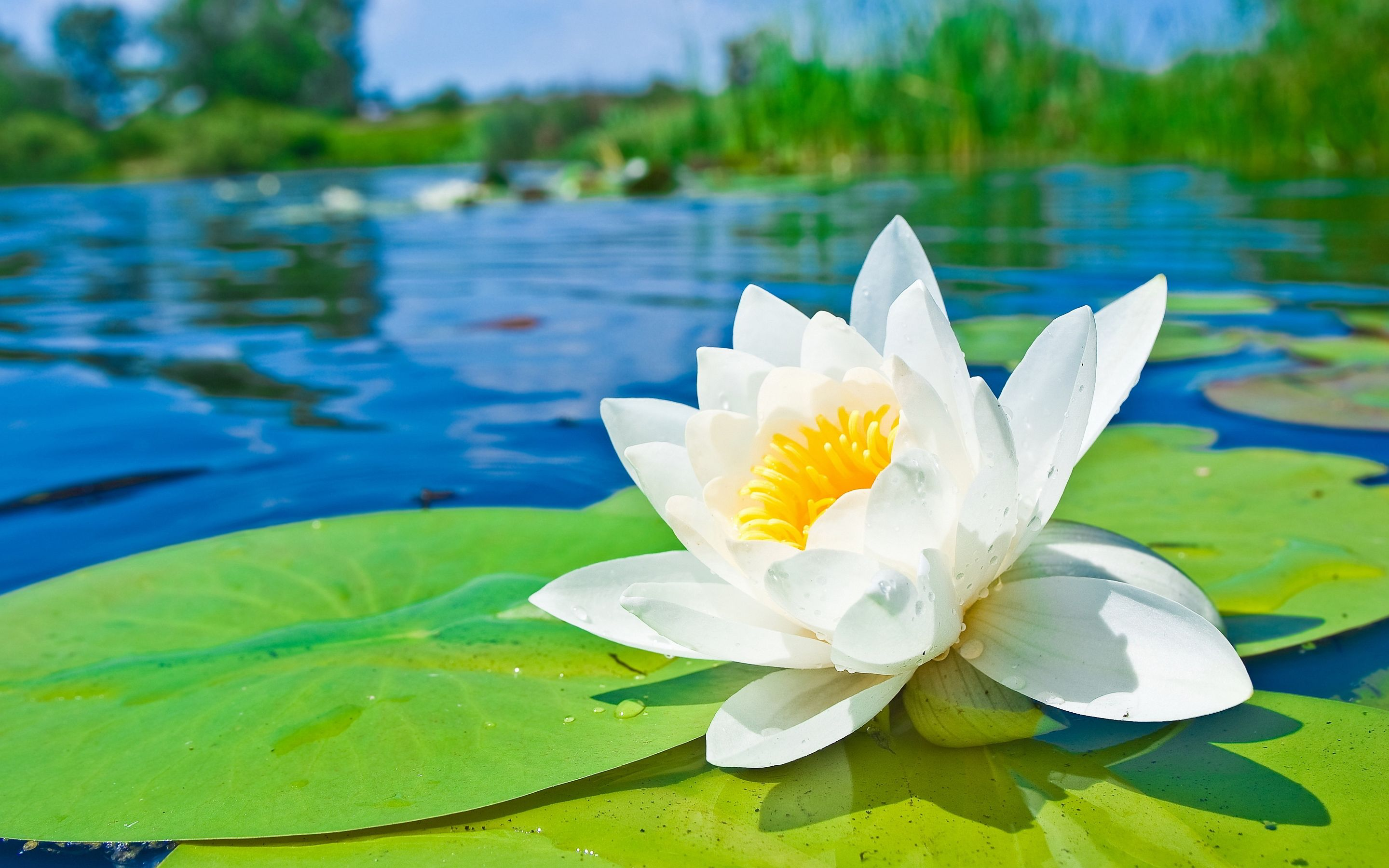 Water Lily Garden Water Lily Hd Wallpapers Pictures Photos Images Water Lily Hd Flower Wallpaper Lotus Flower Meaning Wallpaper lily white flower pond leaves
