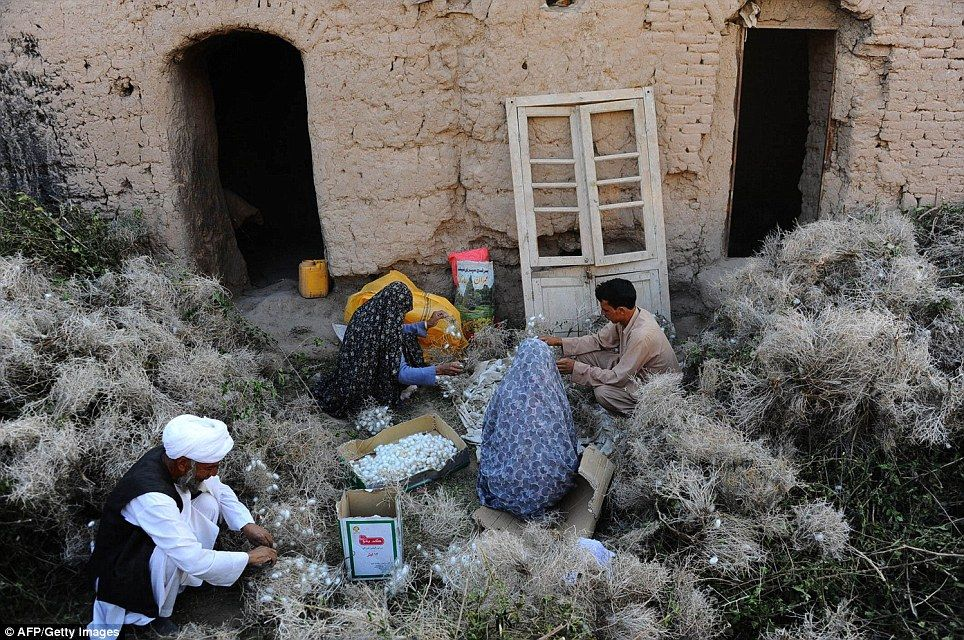 An Afghan family collects cocoons from dried mulberry leaves in Zandajan district of Herat province. Carpet weaving once employed, directly or indirectly, six million people, or a fifth of the country's population