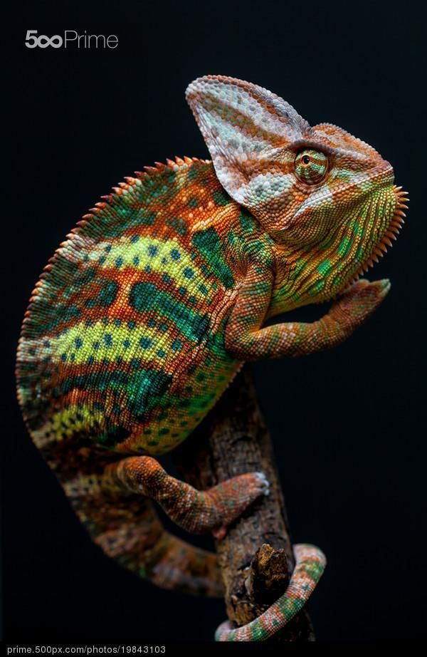 Yemen chameleon - stock photo