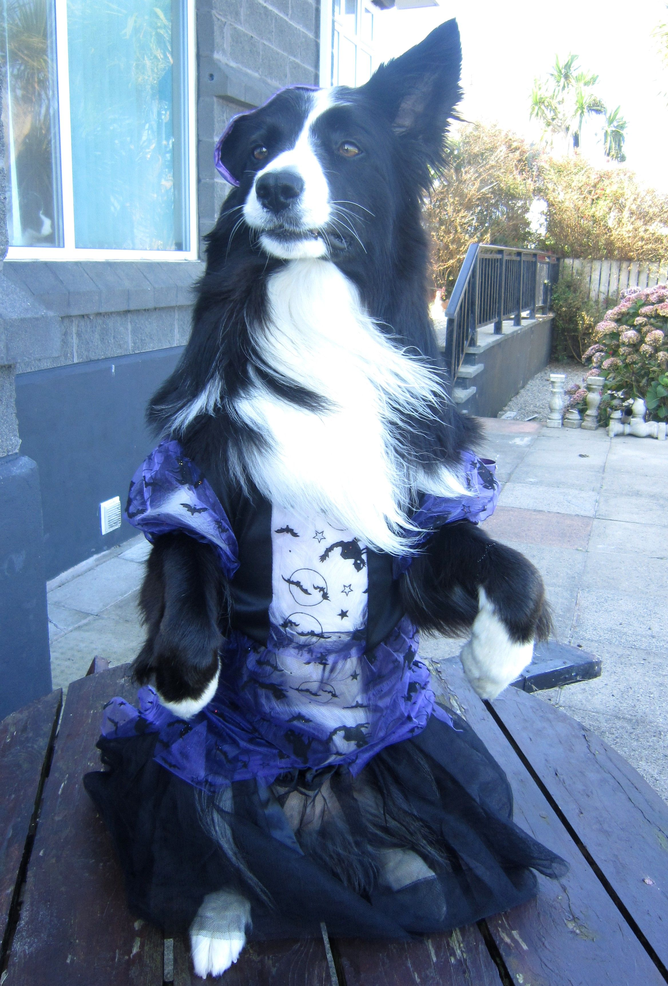 Scary Halloween Witch Border Collie#Asha the border collie ...