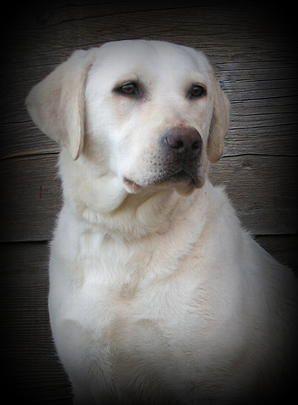 White labrador idaho