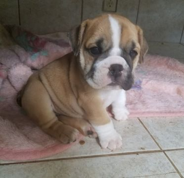 Bulldog Puppy For Sale In Los Angeles Ca Adn 39690 On