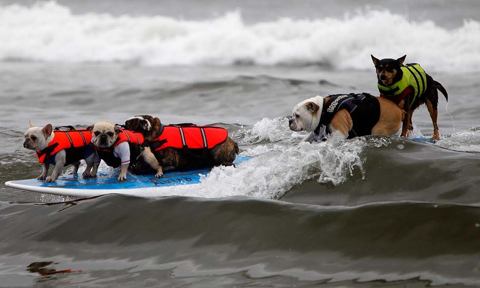 Dogs Compete In The Surf City Dog Compeion Huntington Beach California