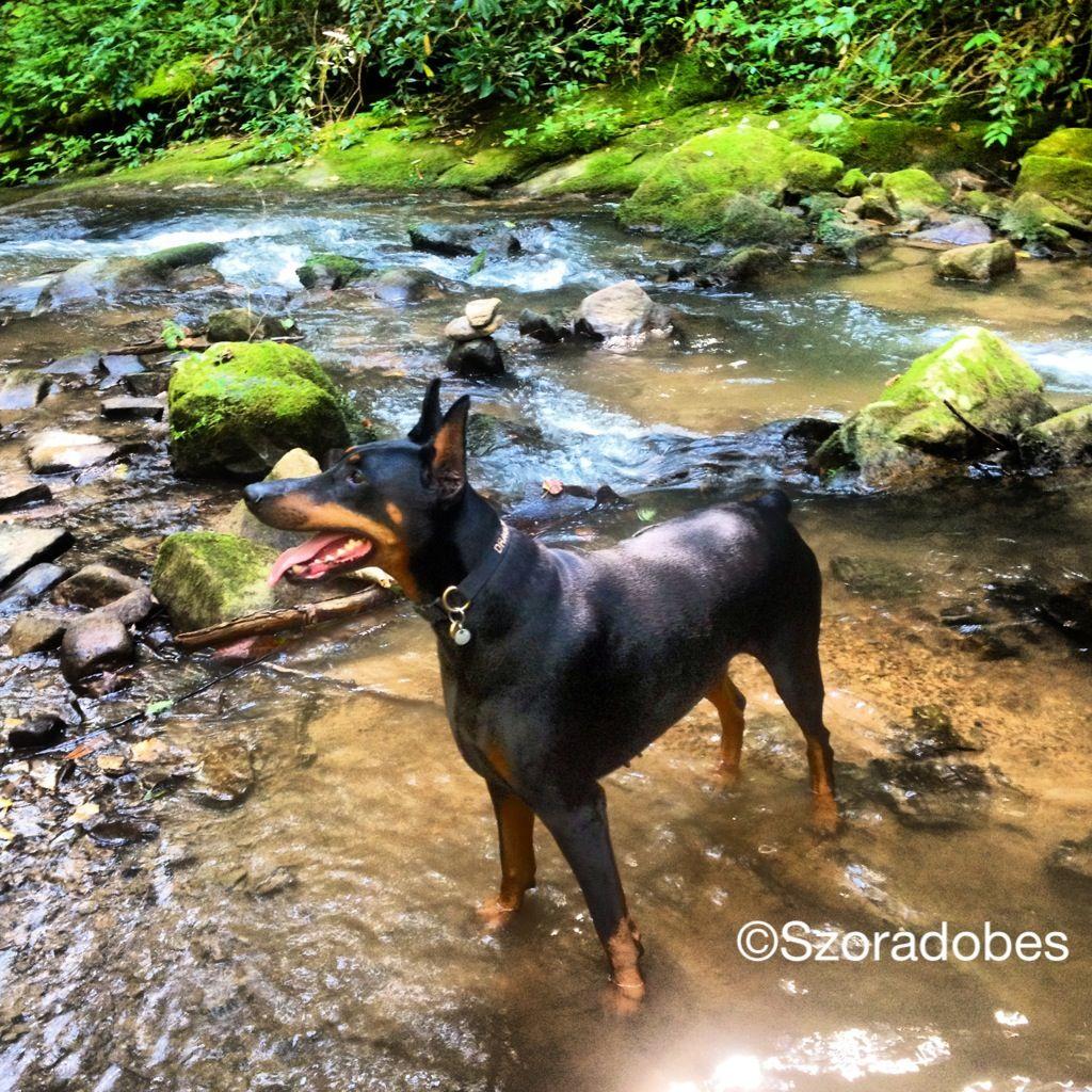 Dragon walking through the stream #Dobermanpinscher #Doberman