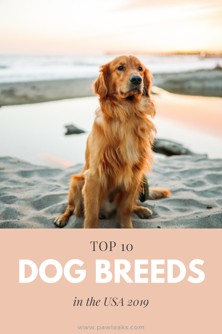 Top 10 Dog Breeds In The Usa 2020 Pawleaks Golden Retriever Red Golden Retriever Top Dog Breeds