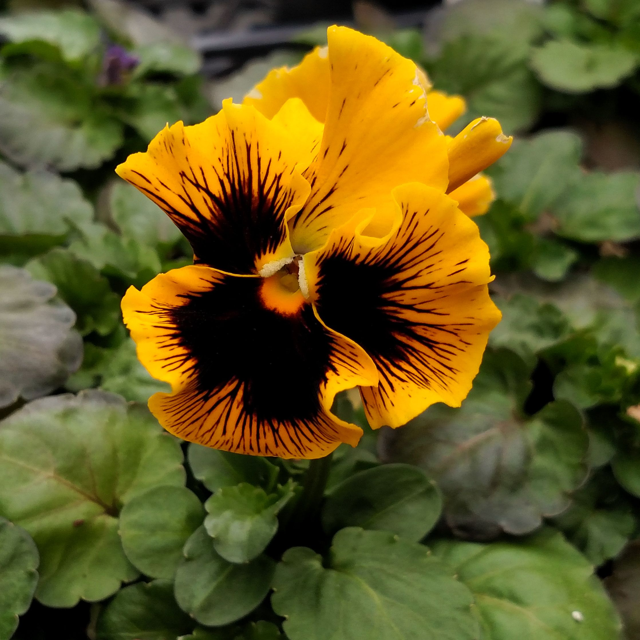 Frizzle Sizzle Yellow Pansy Plant In The Spring Plant In The Fall For Blooms Again In Spring Don T Worry About A Cold Snap Th Fall Plants Pansies Spring Plants