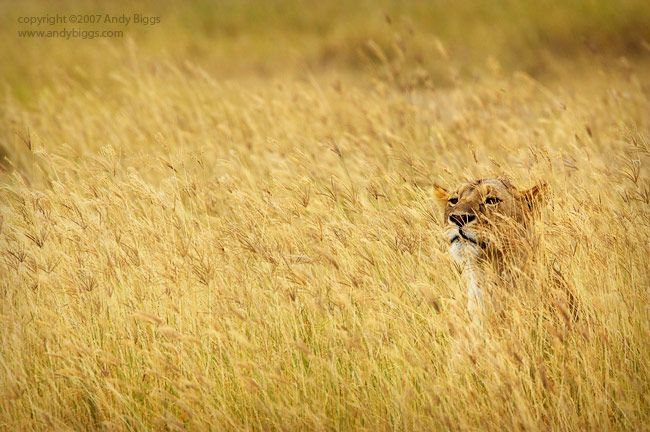 Lion in the grass. Photo taken by professional wildlife ...
